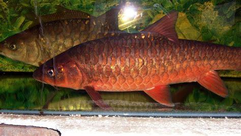 Ikan Hias Sepat Hias Biru ikan kelah related keywords ikan kelah