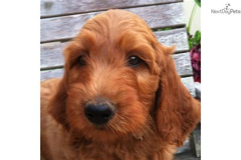 goldendoodle puppy for sale in arkansas goldendoodle puppy for sale near rock arkansas