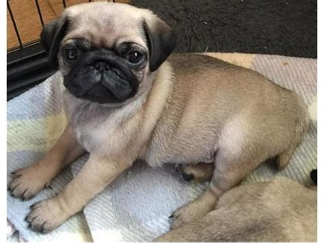 pugs for sale in ri pug pups for sale animals slatersville rhode island announcement 26522
