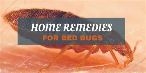 home remedies  bed bugs  quick tips  kill