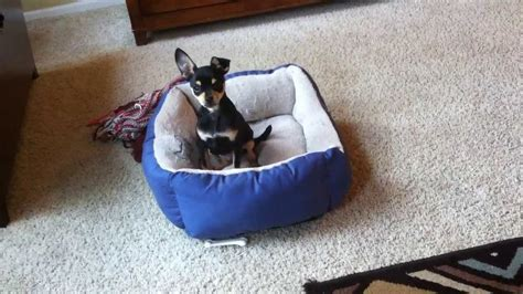 humping bed miniature pinscher puppy dog humping his bed skipper cole