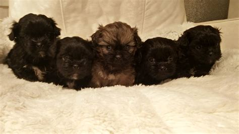 shih tzu puppies manchester stunning true black shih tzu puppies manchester greater manchester pets4homes