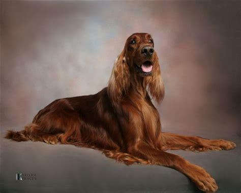irish setter dog group irish setter