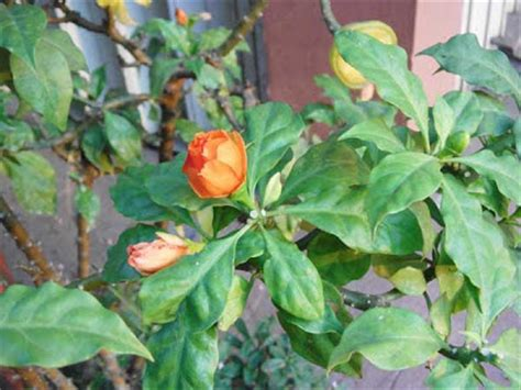 Bunga Jarum plants in indonesia bunga jarum tujuh bilah