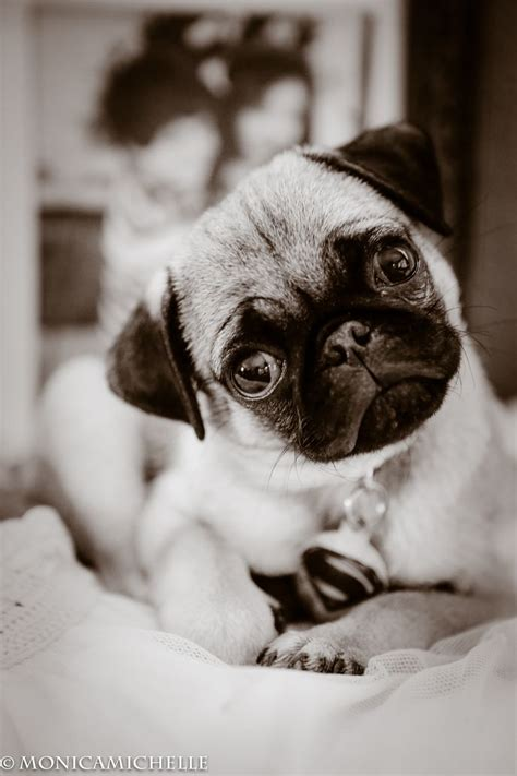 are pugs color blind best 25 fawn pug ideas on pug puppies pugs and black pug puppy