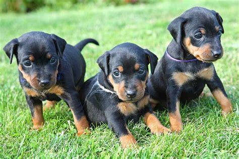 Dogs And Blindness Miniature Pinschers Miniature Pinschers Pet Insurance