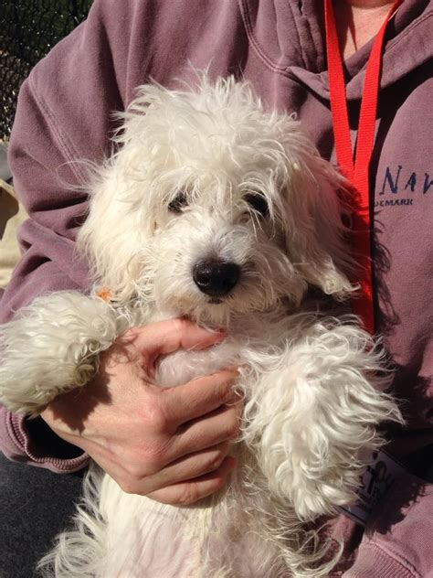small rescue pa maltese poodle mix baby small happy tails rescue morrisville pa
