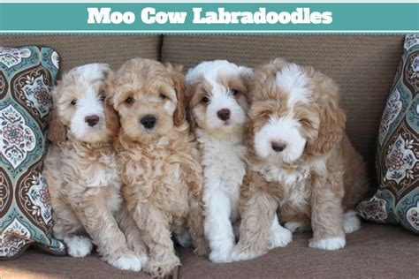 labradoodle puppies california australian labradoodle puppies in california california labradoodle puppies breeder