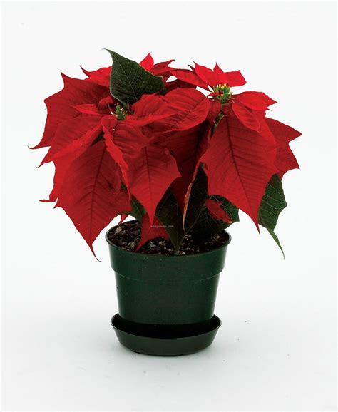 pot plant christmas altar safe pet delicious musings