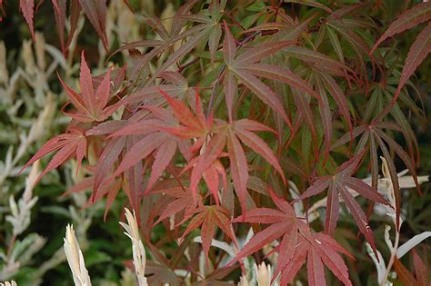 Bamboo Garden Tinley Park by Pygmy Japanese Maple Acer Palmatum Pygmy