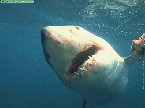imagenes impresionantes de tiburones imagenes de tiburones taringa