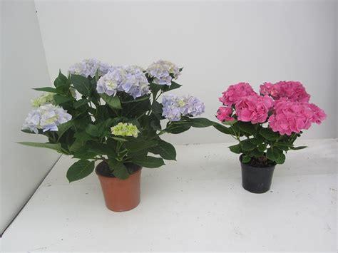 ortensia in vaso ortensie in vaso piante da giardino coltivare le