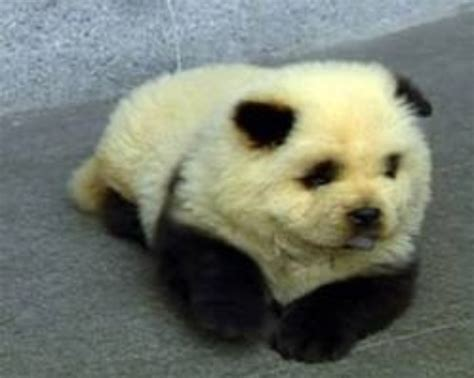 panda dogs that looks like a baby panda by babycakes202 on deviantart
