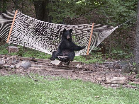 Bears In Hammock animal connections in hammock newsdesk