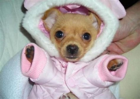 puppies in clothes puppies in clothes www pixshark images galleries with a bite