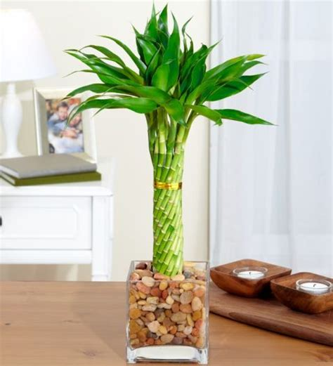 bamboo plant in bathroom bedrooms the o jays and bathroom on pinterest