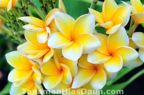 Tanaman Hias Bunga Melati Jepang Kuning jenis jenis tanaman hias bunga yang cantik dan bagus