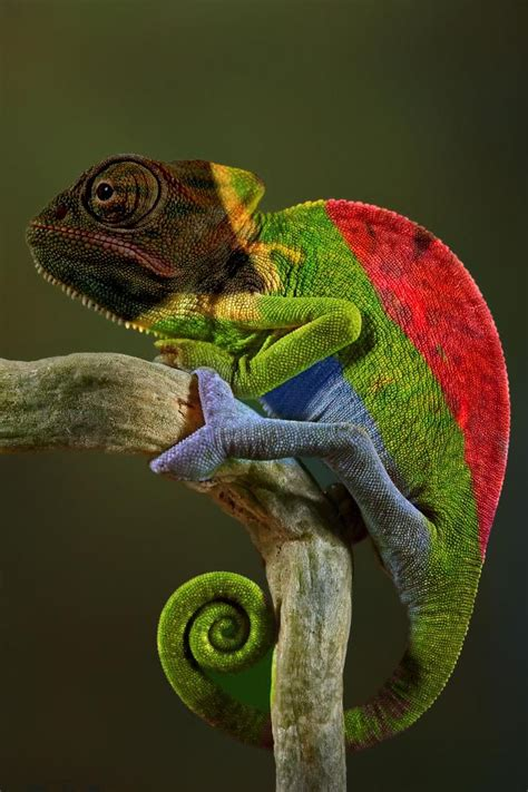 veiled chameleon colors this is a third generation south captive bred