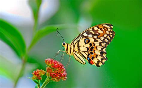 wallpaper bergerak kupu kupu awiasih 10 gambar wallpaper kupu kupu cantik 1