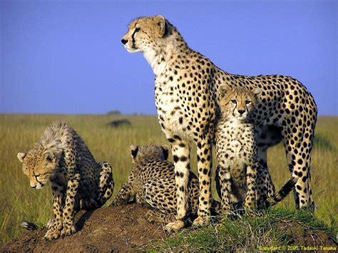 animals pictures animal desktop wallpapers cheetah wallpapers