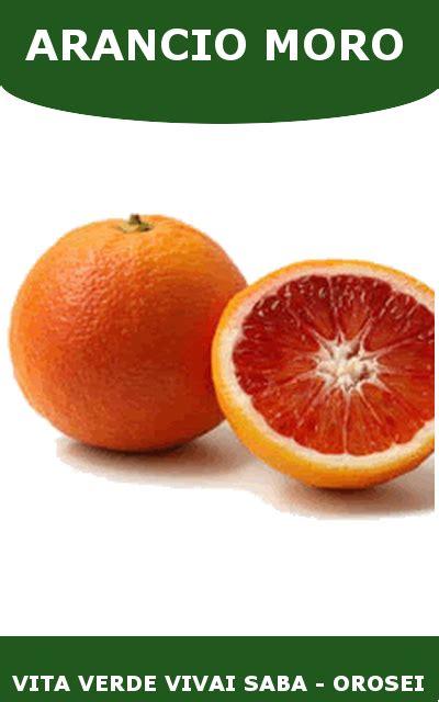arancio in vaso arancio moro in vaso vita verde vivai