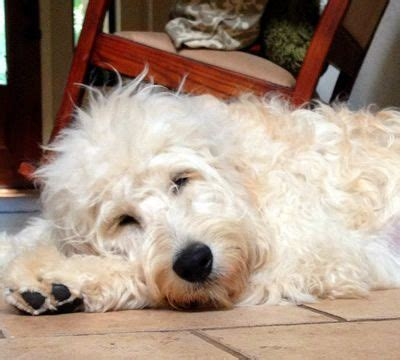 golden retriever crossed with poodle 25 best standard goldendoodle ideas on