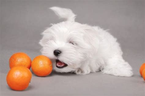 can dogs eat orange peels can dogs eat oranges are these fruits really or bad