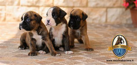 alimentazione cucciolo boxer cuccioli di boxer fulvi e tigrati allevamento boxer