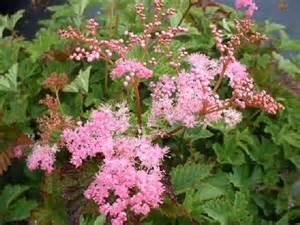 White Flowered Perennials - but filipendula by mail order