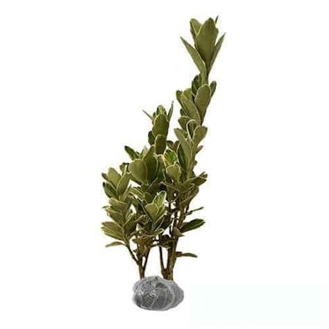Tanaman Hias Violces And White jual tanaman puring white bibit