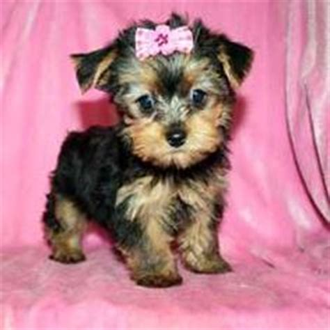 teacup yorkie with bow pets on leopard geckos tortoises and footed tortoise