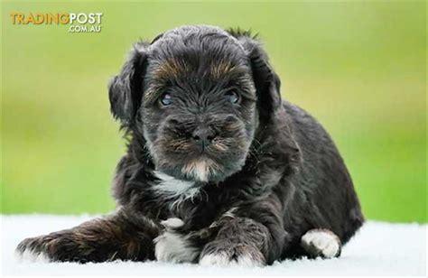 shih tzu puppies for sale nz shih poo poodle x shih tzu puppies for sale in hoppers crossing vic shih poo
