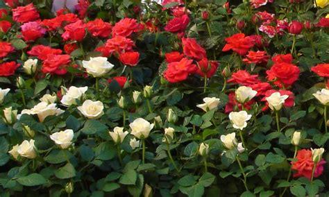 imagenes de jardines con rosales c 243 mo cuidar un rosal vivero arg 252 ello