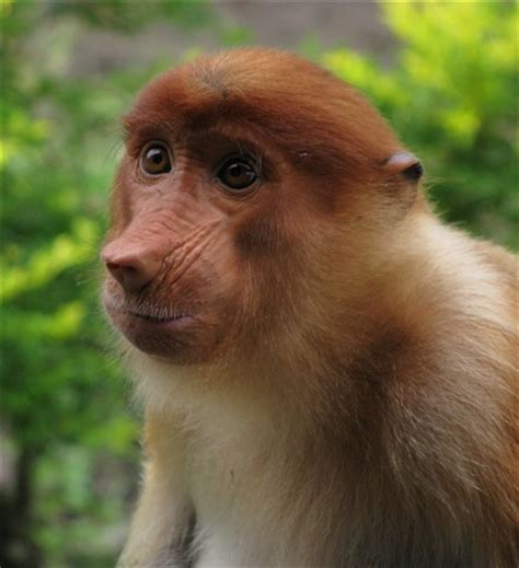proboscis monkey female small: ajf2: galleries: digital