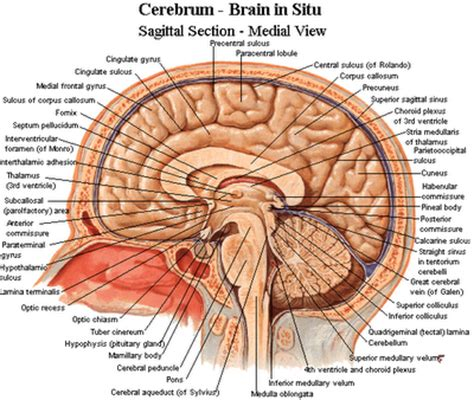 sagittal cross section of brain sagittal cross section of the brain with labels study