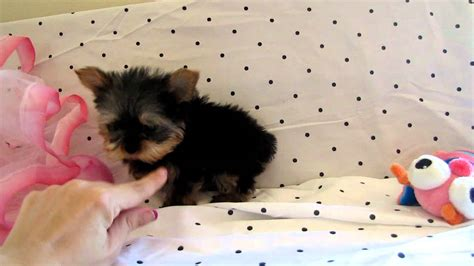 teacup yorkie puppies for sale nz baby teacup yorkie puppy for sale at boutique tea doovi