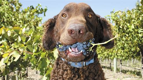 dogs and grapes rodney the curly coated retriever in book series on winery dogs the advertiser