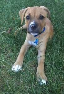 Boxer Pitbull Mix Dogs Pictures » Home Design 2017