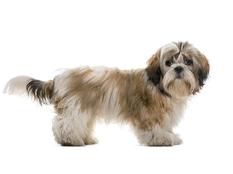 shih tzu forums shih tzu tout sur cette race de chien