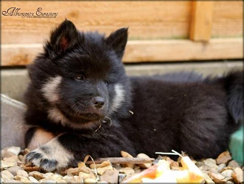 eurasier puppies for sale eurasier puppy hornchurch essex pets4homes
