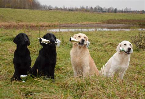 field trial golden retriever puppies end of retrievers field trials season in lithuania retriever kennel basteta flat
