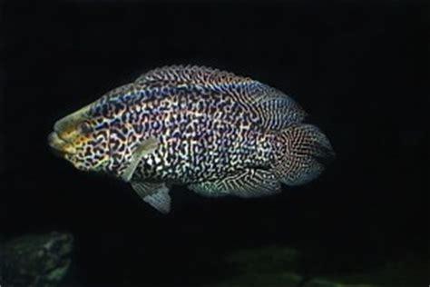 Jaguar Menaguense Cichlid jaguar cichlid parachromis managuense tropical fish site