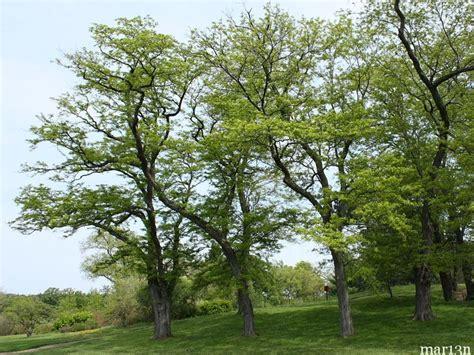 Landscape Forms Black Locust 363 Best N C Trees Tolerant Of Soils Images On