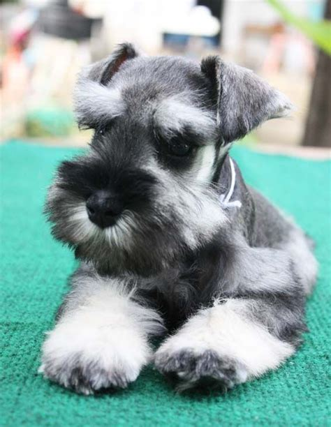 teacup schnauzer puppies best 25 miniature puppies ideas on miniature dogs golden doodles and