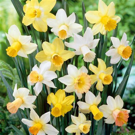 narcisi fiori narcisi