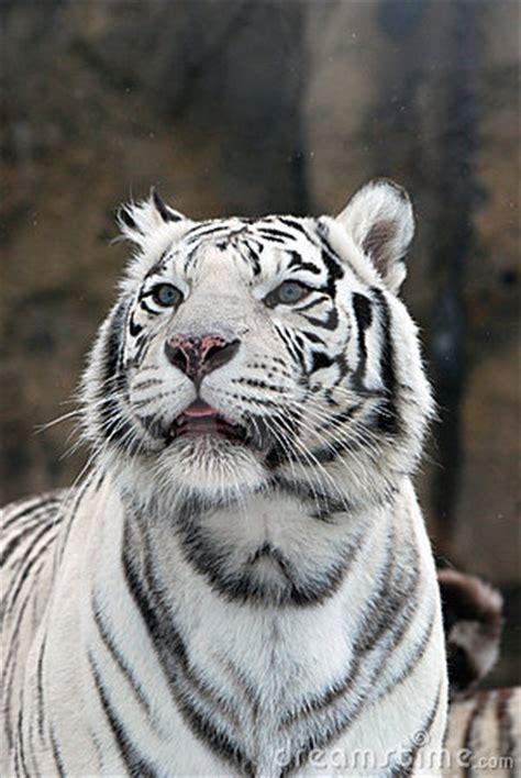 imagenes de tigres verdes tigres blancos imagen de archivo libre de regal 237 as