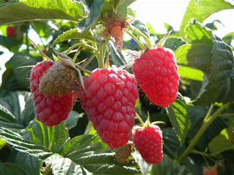 loganberry  tayberry  spectacular plants