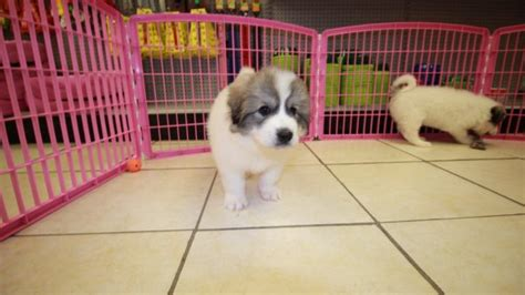 great pyrenees puppies for sale in ga unique white great pyrenees puppies for sale near atlanta ga at puppies
