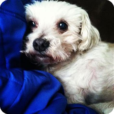 havanese rescue ohio flipper adopted columbus oh havanese bichon frise mix