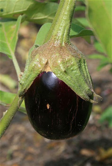 eggplant gardening solutions university  florida